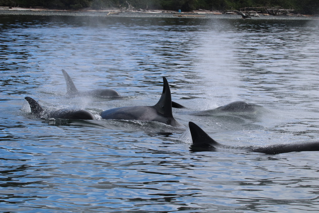 A family of orca (killer whales) works together to find food off northern Vancouver Island. (Photo taken under research permit, zoomed and cropped.)