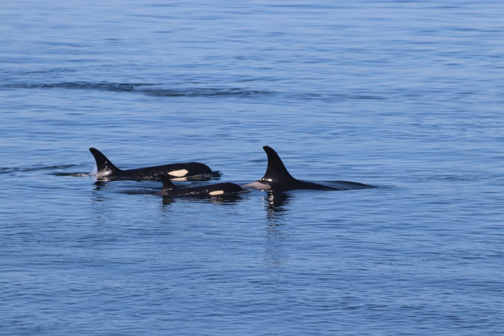 Southern resident killer whales in Haro Strait. Photo by Toby Hall